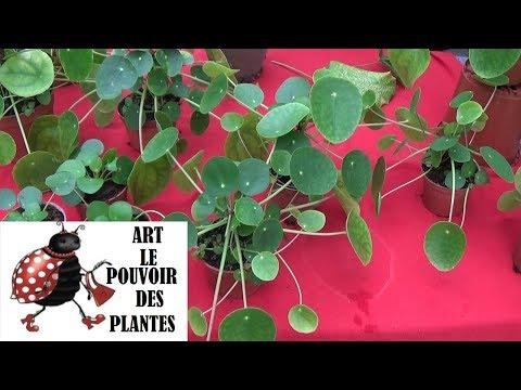 Conseils jardinage: Pilea peperomioides: Entretien et arrosage plante verte d'intérieur