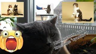 "Как научить кошку команде ""суслик""?/""Суслик""+ ""дай лапу""=..../Видео-обучалка."