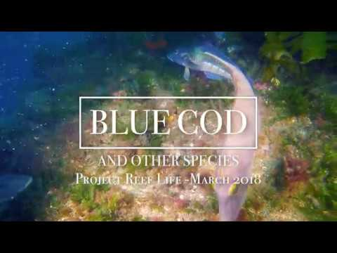 Blue Cod // PROJECT REEF LIFE // 03.18