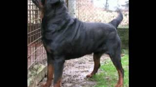 Rottweiler Big Gigante Leone Leo Messi Over The Top Roccia Nera