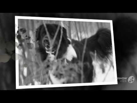 Тувинская овчарка порода собак