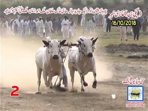 Bul Race In Pakistan Sunny Video Fateh Jang 16 10 2018 NO2