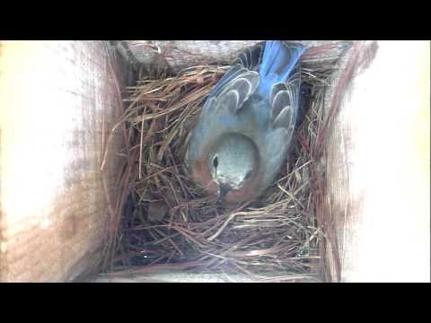 Bluebird nest building 3-7-17  Hillsborough, NC