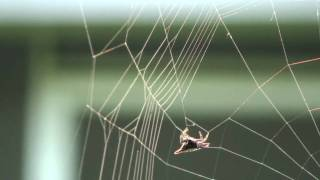 Spiny Orb-Weaver Spider Building a Web