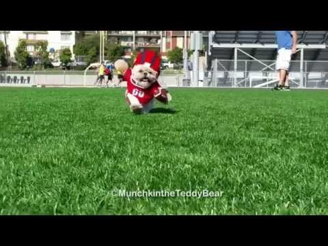 Munchkin the Teddy Bear gets ready for some football