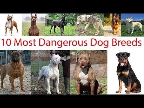 dangerous-dogs