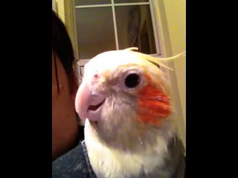 Cockatiel talking