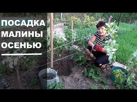 Посадка малины Как сажать малину осенью