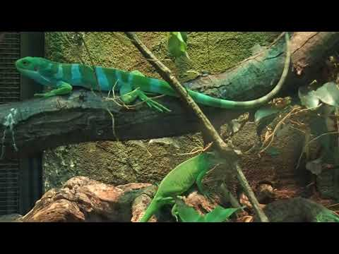 105 Brachylophus fasciatus Fiji banded iguana pair Zoo Amsterdam 2017