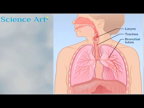 What Happens When You Breathe? How The Lungs Work Animation - Respiratory System Gas Exchange  Video