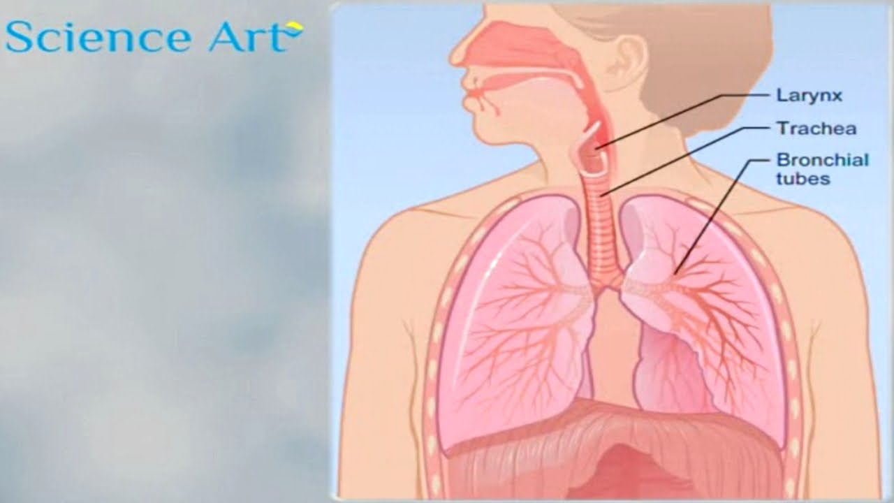 What happens when you breathe how the lungs work animation how the lungs work animation respiratory system gas exchange video youtube ccuart Image collections