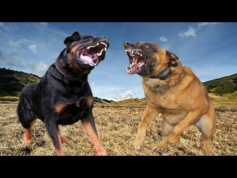 Rottweiler vs Belgian Malinois - Dog Videos [Mr Friend]