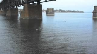 Swimming Miniature Schnauzer Rudy Chasing Ducks In Susquehanna River, Md