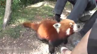 ЖиВоТНые онлайн. Панда невероятная и красная