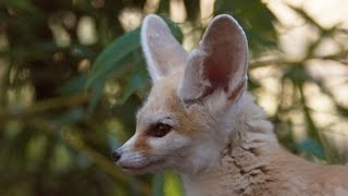 The smallest fox with the biggest ears! - Super Cute Animals: Preview - BBC One