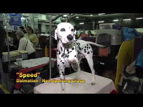 'Speed' The First Double Platinum Dalmatian in the History of the Breed
