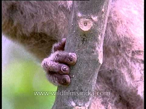Rare Slow Loris of Kaziranga in Assam