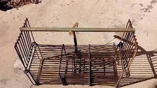 armadilha de trilha para teiú paca tatu cotia coelho pedriz e lambu