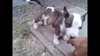 Bull Terrier Miniatura, Una Dulzura Desde Cachorros