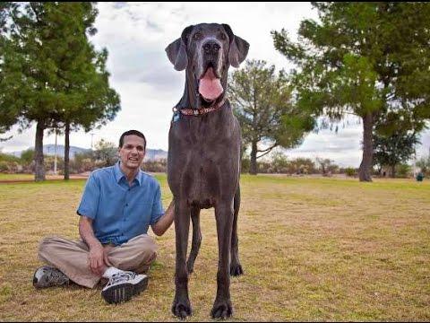 Gran danés: el perro más grande del mundo