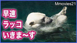 目隠し解除 ホッキョクグマ リラのラッコ泳ぎを間近で Polar Bear Lila enters the pool