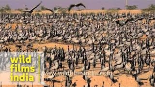 Flock of Demoiselle Cranes in Rajasthan - India