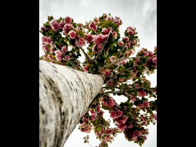 Sakura çiçeğinden reçel nasıl yapılır?