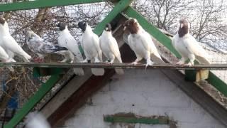 Щекатые  бойные голуби!!