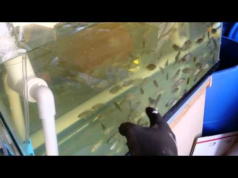 Self Cleaning Aquaponic Fish Rack filter