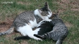 Mama Cat Kisses and Hugs Her Kitten - Kitten Hugs Kitten - Happy Feral Cat Family