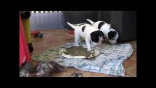 Parson Jack Russell Terrier Welpen. Unser F Wurf Und Das Wackelbrett :)