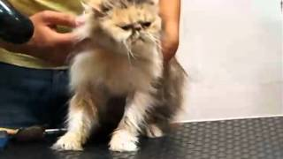 NIKOLATO GROOMING Persian cat