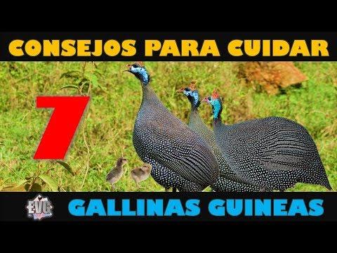 7 Consejos Importantes para Cuidar Gallinas Guineas o Coquenas