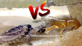Turtle vs Crawfish!  *Epic Battle Royale*