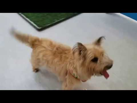 Fufkin, a male Norwich Terrier at Muttville-Adopted!