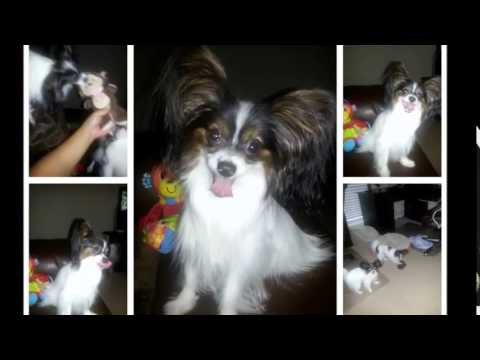 My Butterfly - My Papillons & Colorpoint Shorthair