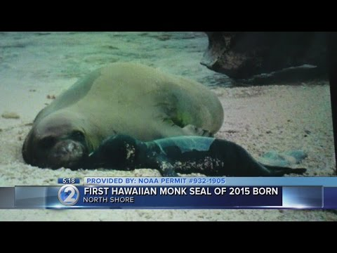 Honey Girl gives birth! First monk seal born in Hawaii in 2015