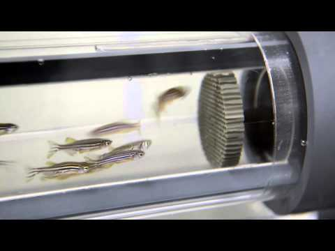 Zebrafish Treadmill at Sinnhuber Aquatic Lab at Oregon State University