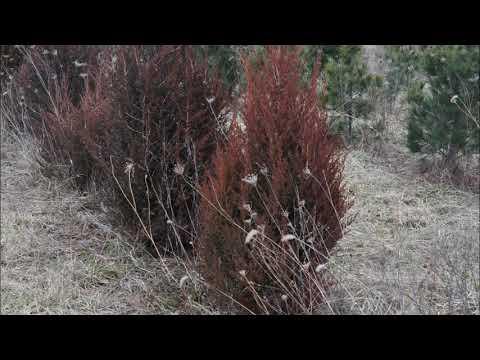 Juniperus Virginiana  Eastern Red Cedars     Grown In Bucks County