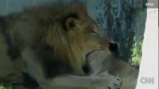 أسد يقتل لبوة امام زوار حديقة الحيوان في دالاس الامريكية cnn