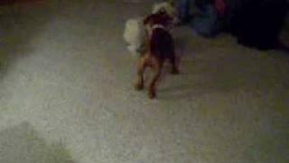 Dogue De Bordeaux Puppy & Shih Tzu Playing