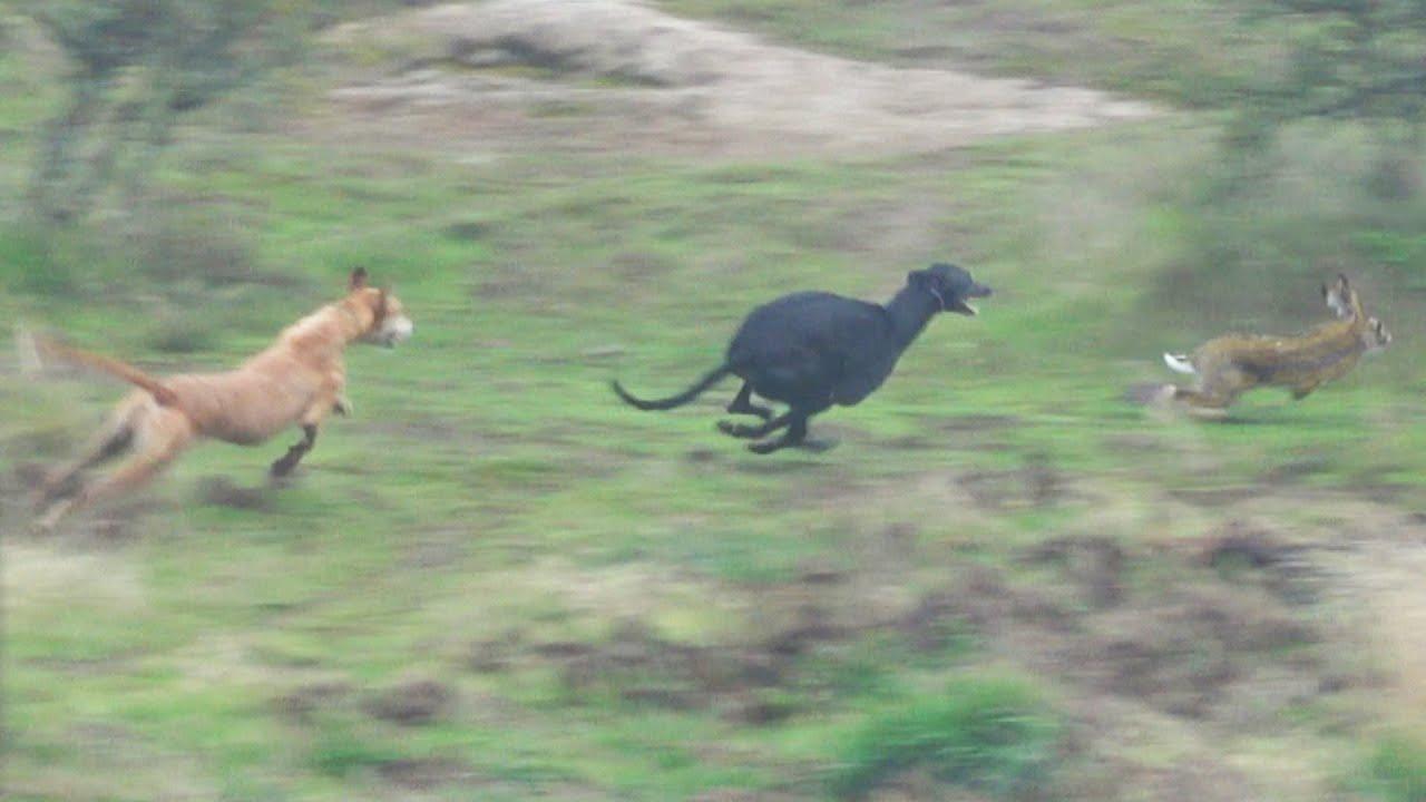 Galgo VS Liebre | Caceria Con Zorreros Beagles y Galgos