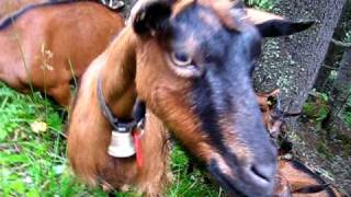 Goats in the Swiss Alps