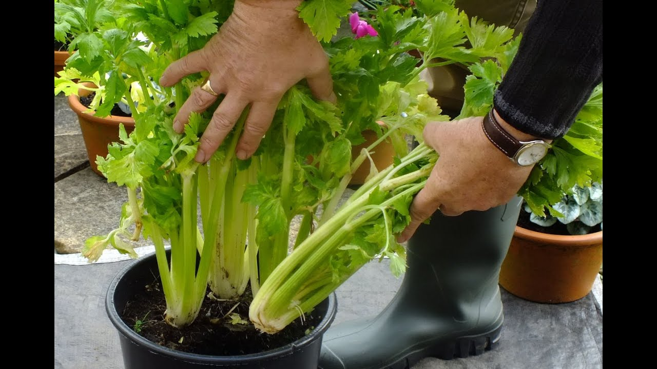 Hgv How To Grow Organic Celery In A Pot On Patio Experiment 1st Cut