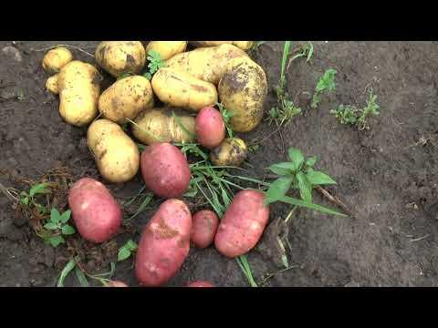 Видео обзор картофеля Импала, Жуковский ранний и Ред Скарлет