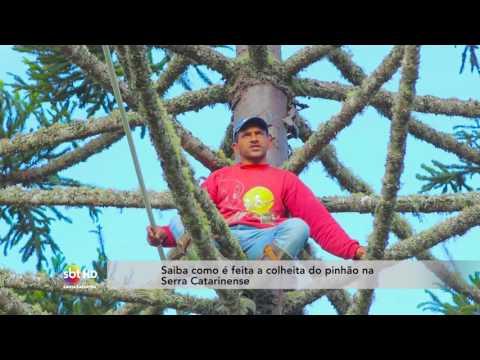 Saiba como é feita a colheita do pinhão na Serra Catarinense
