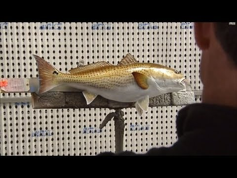 King Sailfish Mounts - Louisiana Redfish
