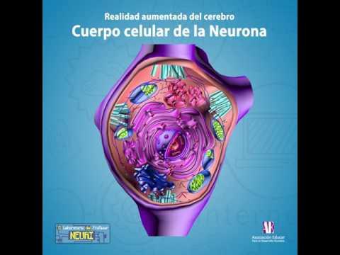 funcion+del+nucleo+celular+en+la+neurona