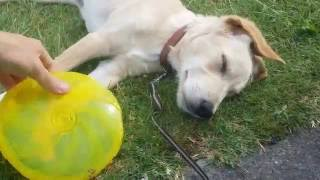puppy dead tired after playing frisbee labrador golden mix dog