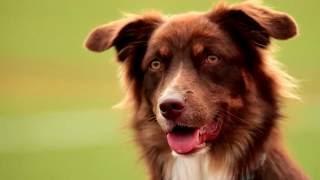 Порода собак. Австралийская борзая.Животные крайне выносливые, очень быстрые и сильные.